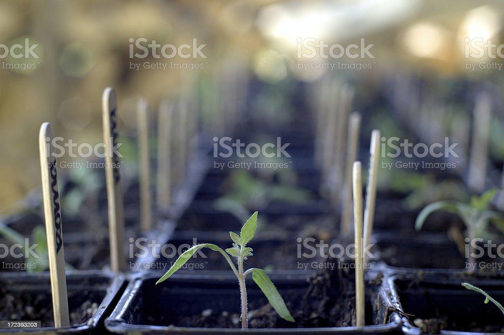 Tomato Seedlings royalty-free stock photo