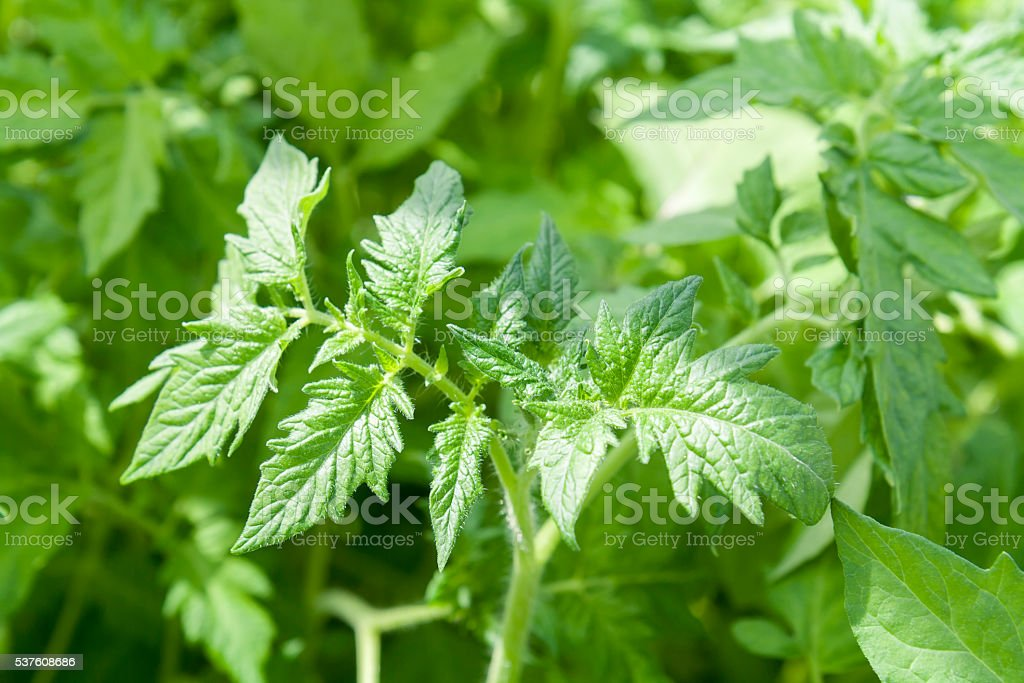 Tomato seedlings plants in greenhouses lit by sunlight royalty-free stock photo