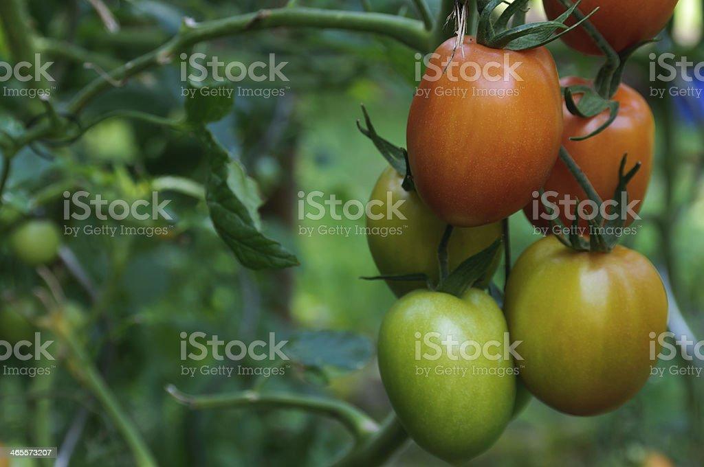 Tomato, Solanum lycopersicum royalty-free stock photo