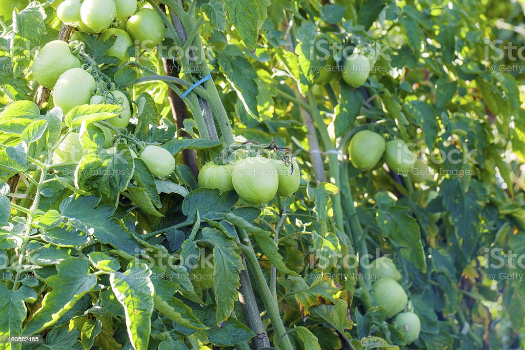 Tomato trees in green farm Bandung Indonesia stock photo