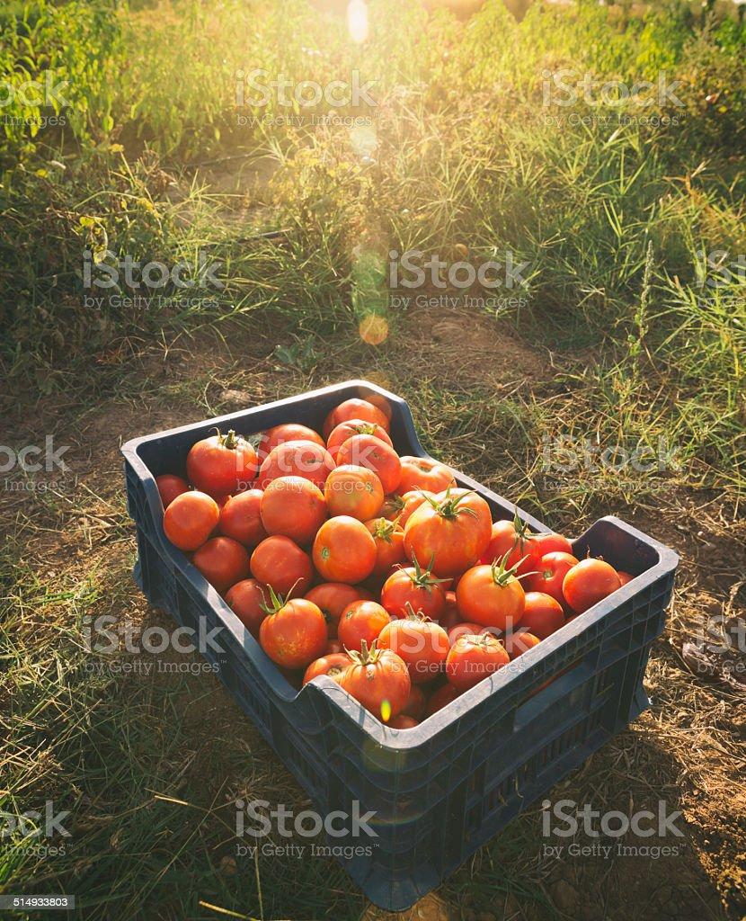 Tomatoe stock photo