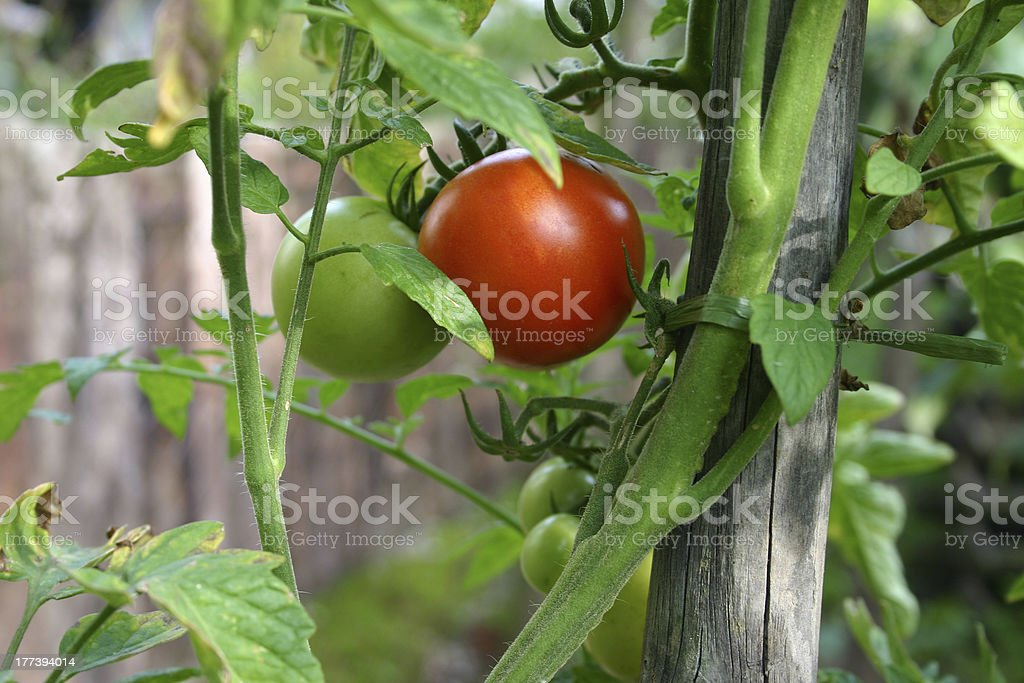 Tomatoe plant royalty-free stock photo