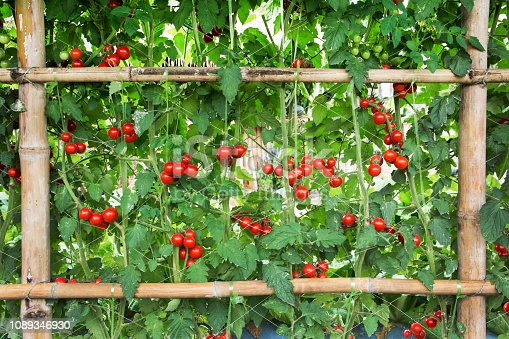 Tomatoes agriculture at farm. Beautiful red tomatoes with bamboo fence planting background