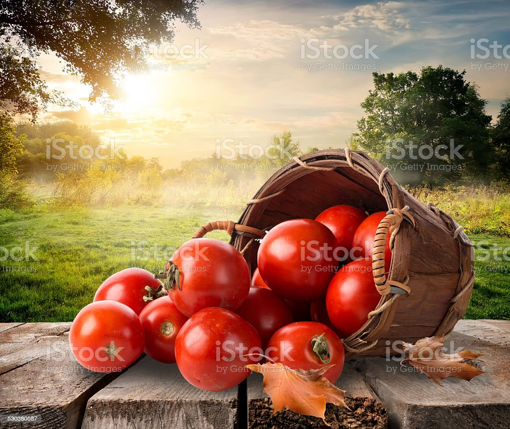Tomatoes and landscape stock photo