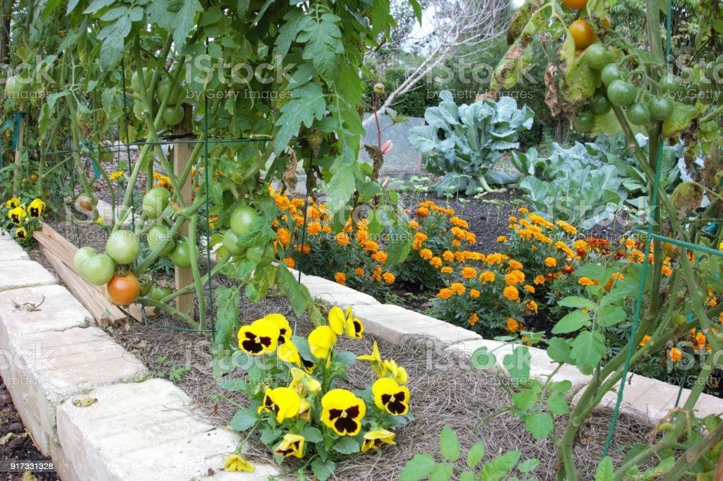 Tomatoes And Marigolds Companion Planting In Vegetable Garden Stock ...