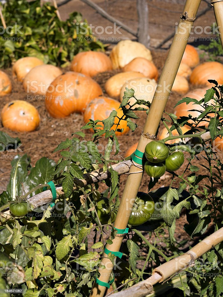 Tomatoes and Pumpkins royalty-free stock photo