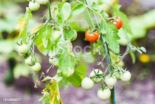 Tomatoes blooming in summer in the garden.