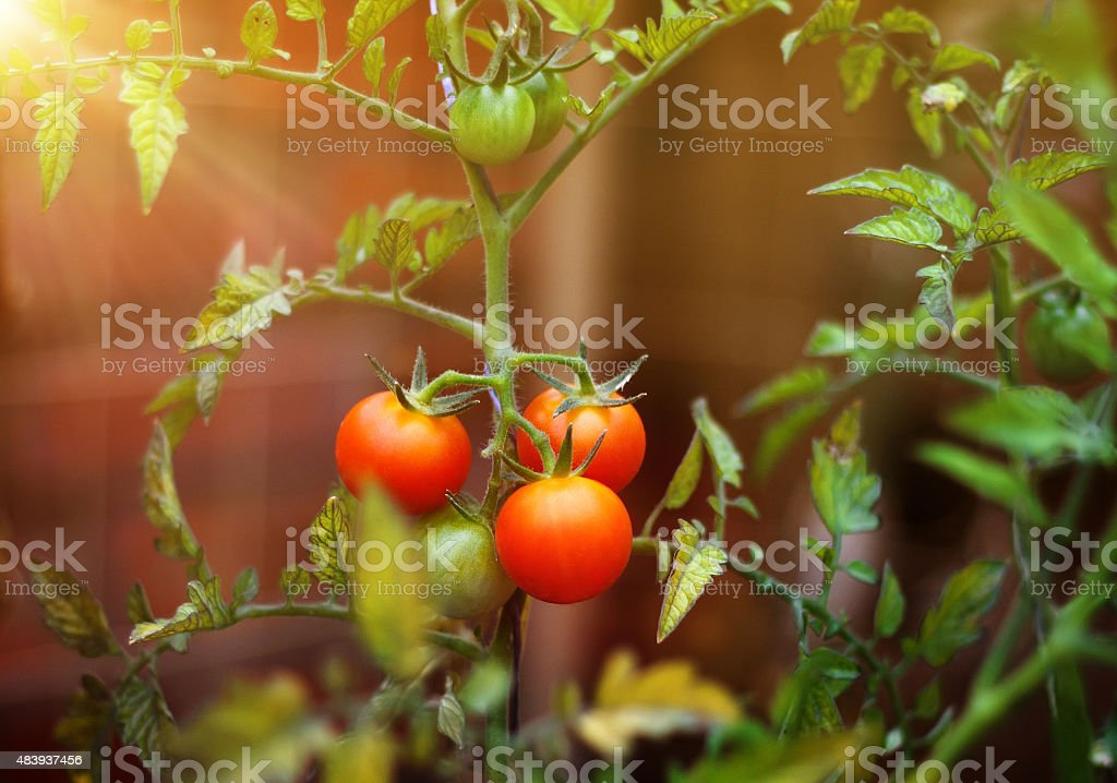 Tomatoes cherry branch outdoor stock photo