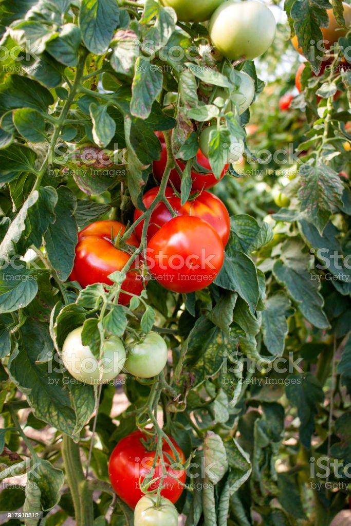 Tomatoes, Greenhouse stock photo