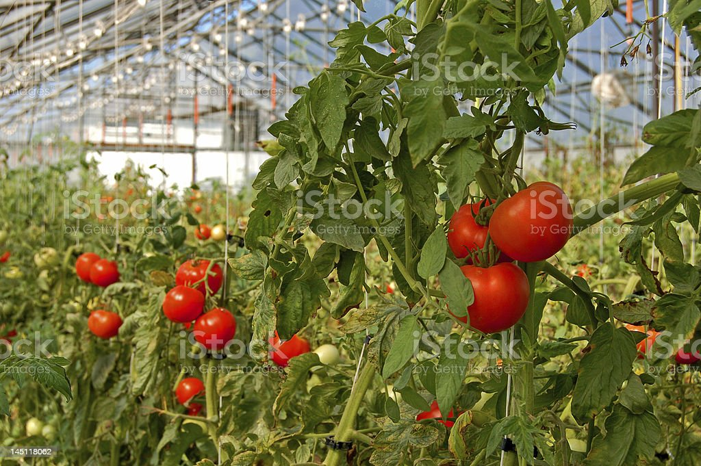 Tomatoes growing in a greenhouse stock photo