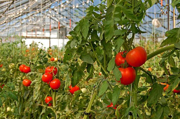 помидоры растущих в теплице - теплица стоковые фото и изображения