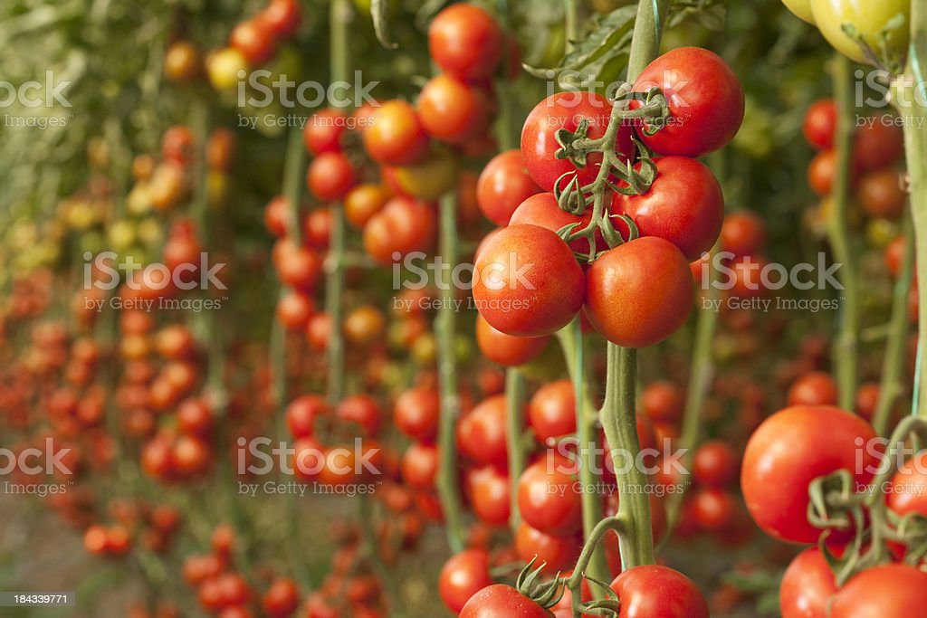Tomatoes growing in a greenhouse royalty-free stock photo