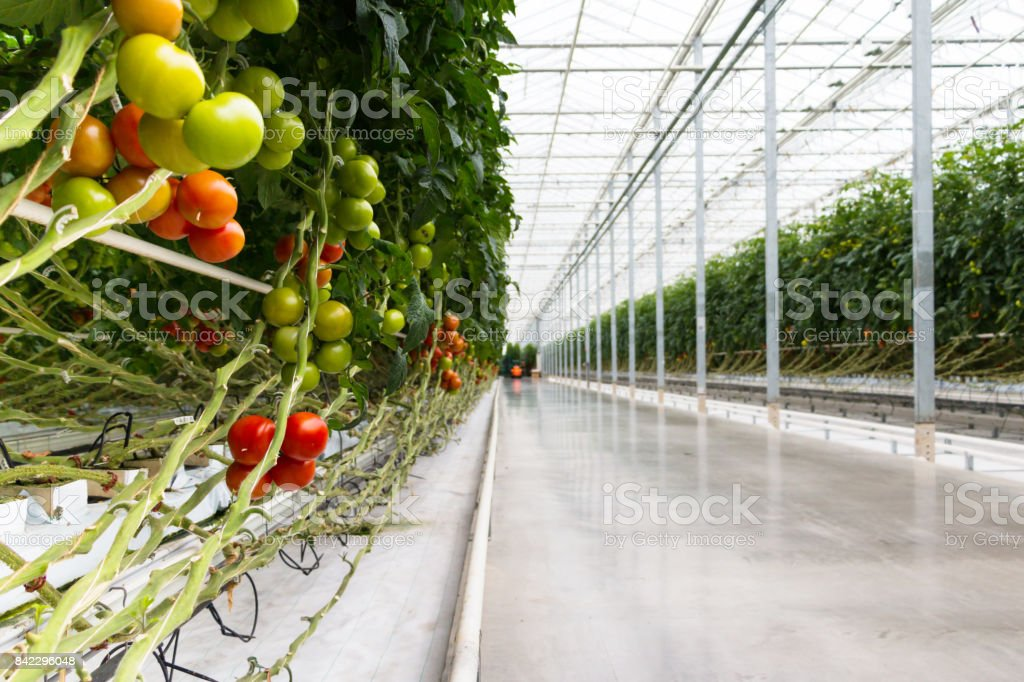 Tomatoes growing in greenhouse. Agriculture background. Selective focus. stock photo