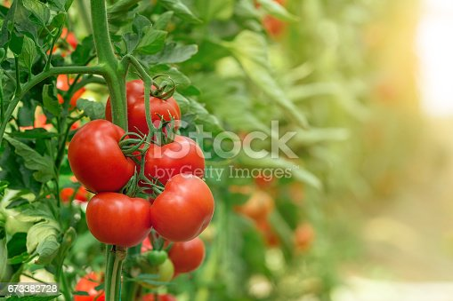 istock Tomatoes growing in greenhouse 673382728