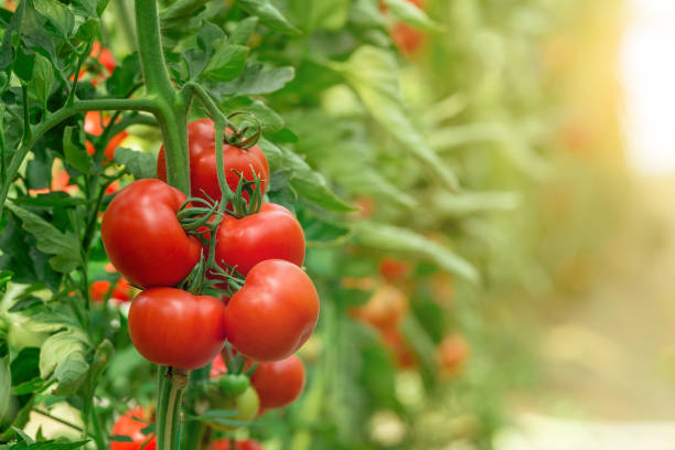 Tomatoes growing in greenhouse stock photo