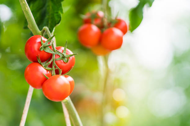 tomatoes growing in greenhouse - tomato field stock photos and pictures