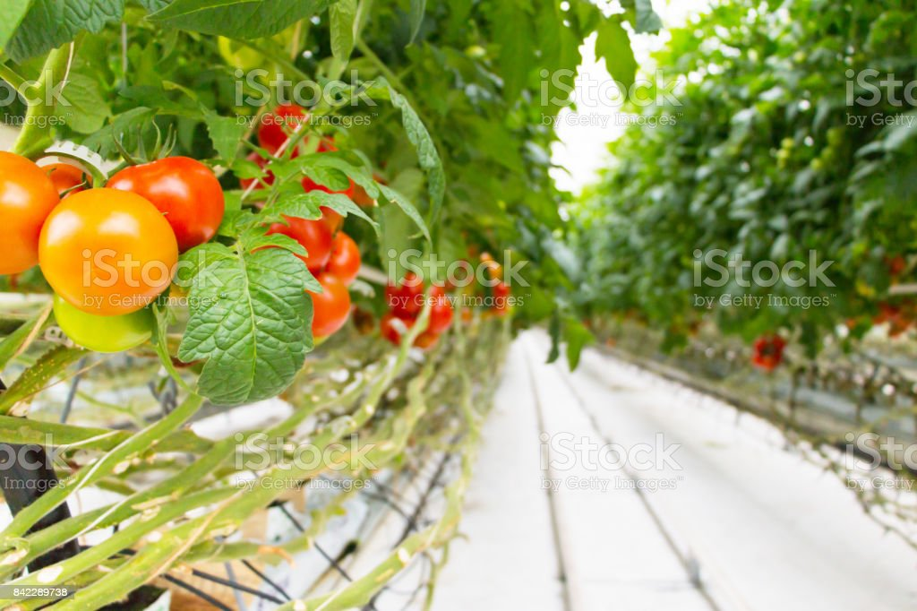 Tomatoes growing in greenhouse.Agriculture background. Selective focus. stock photo