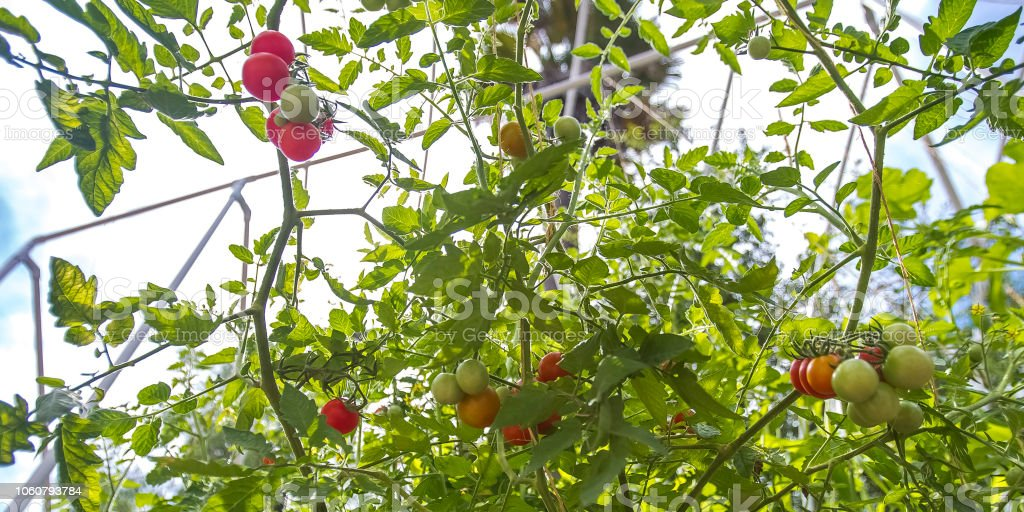 Tomatoes grown by an aquaponics system close stock photo