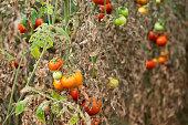 Tomato, Farm, Plant, Vegetable, Seedling