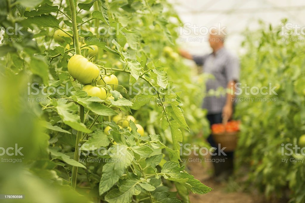 Tomatoes in a greenhouse royalty-free stock photo