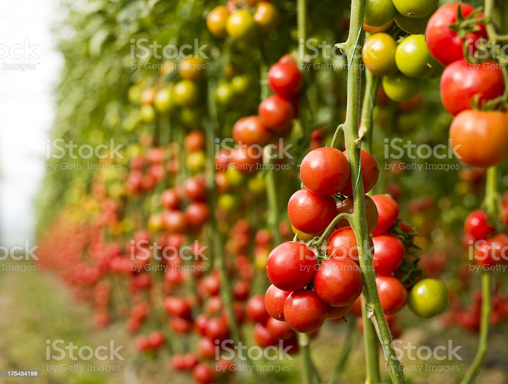 Tomatoes in greenhouse stock photo