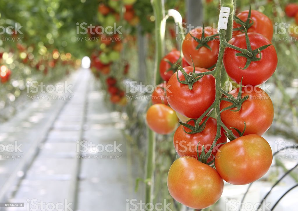 tomatoes in greenhouse royalty-free stock photo