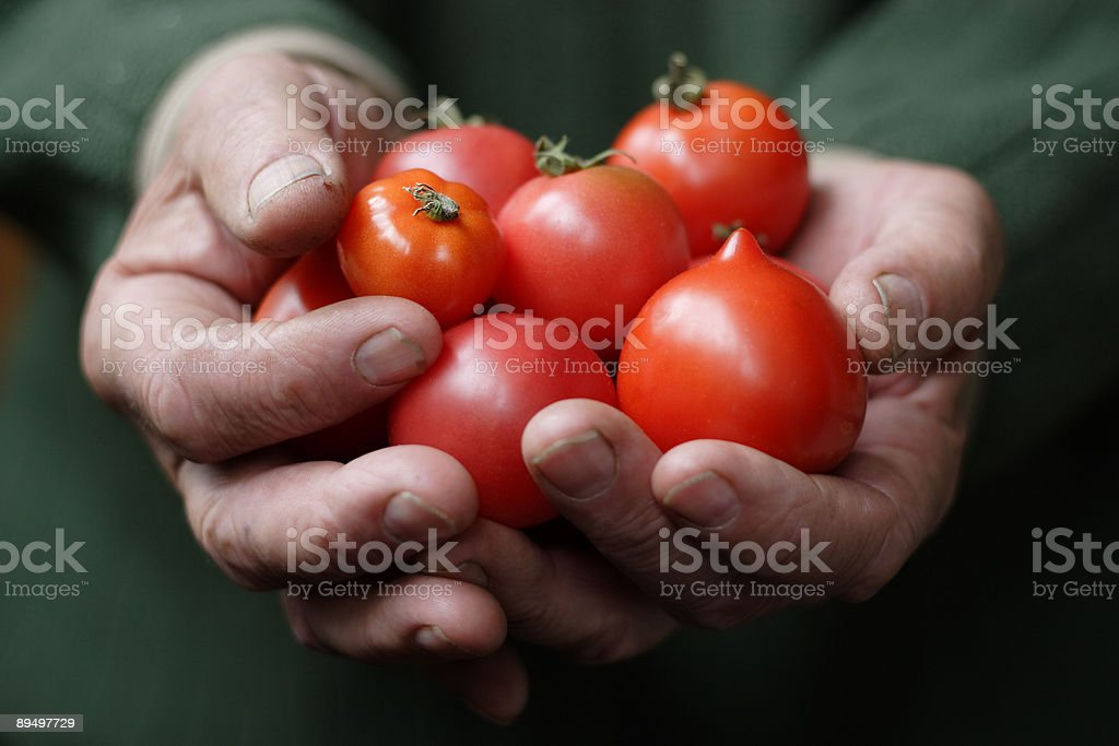 Tomatoes in hands of the old person royaltyfri bildbanksbilder