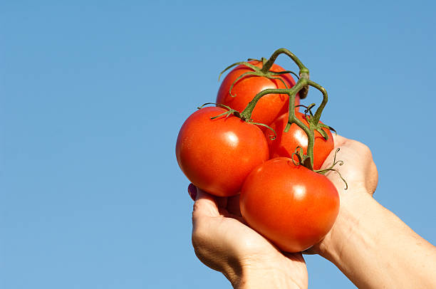 Tomatoes in Hands stock photo
