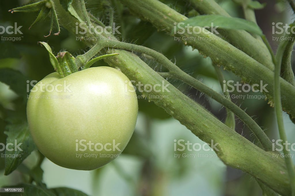 Tomatoes in the garden royalty-free stock photo