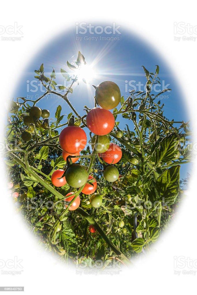 Tomatoes in the sunshine Lizenzfreies stock-foto