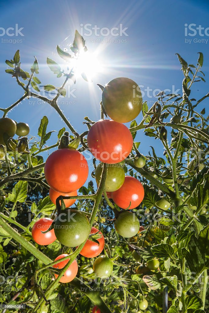 Tomatoes in the sunshine royalty-free stock photo