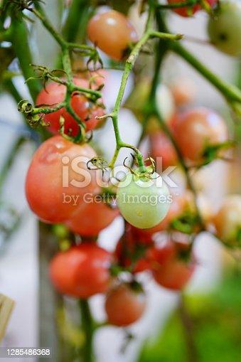 Close-up tomato hanging in organic farm.