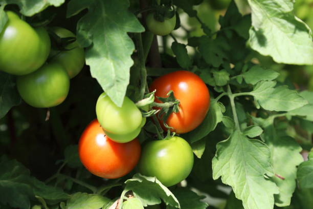 Tomatoes on plant in greenhouse Cluster of Tomatoes on plant pejft stock pictures, royalty-free photos & images