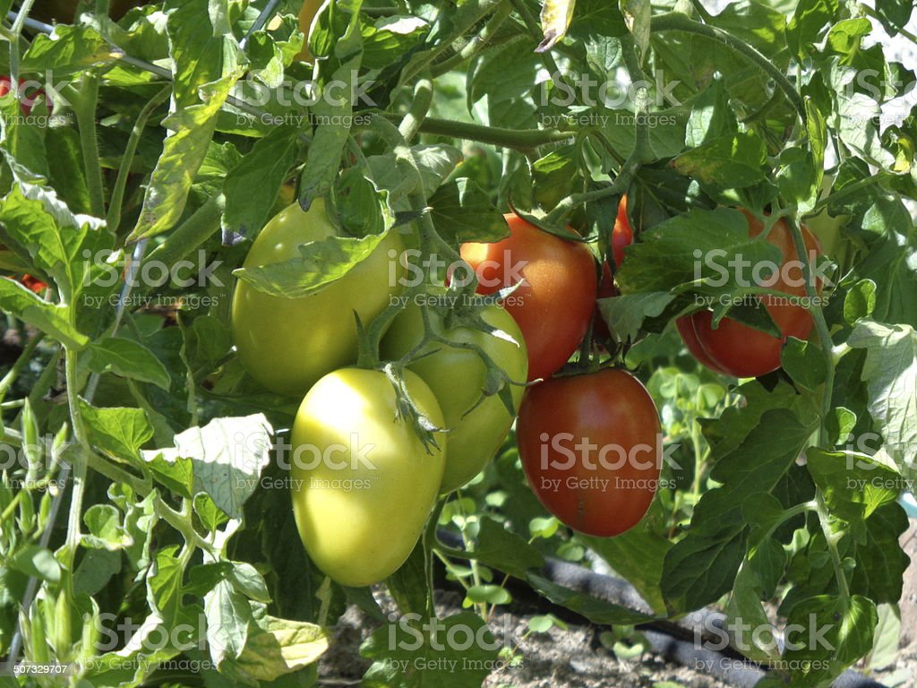 Tomatoes on vine -green and red stock photo