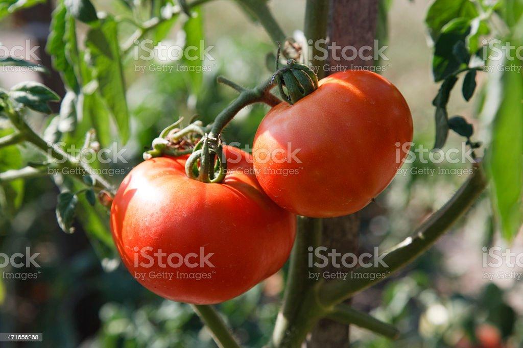 Tomatoes on vine stock photo