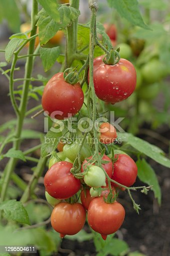 Tomatoes on vine. Ripening tomatoes on a branch in the open field. Organic farming. Proper nutrition concept.