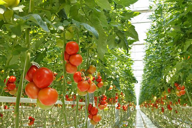 помидоры - оранжерея стоковые фото и изображения