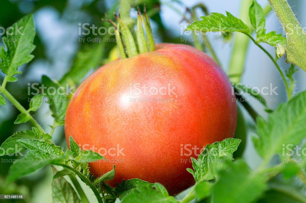 Pomodori  foto stock royalty-free