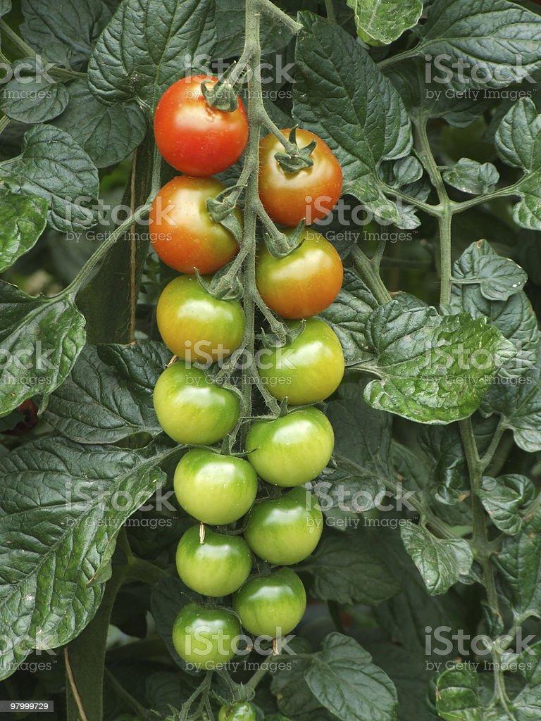 Tomates foto royalty-free