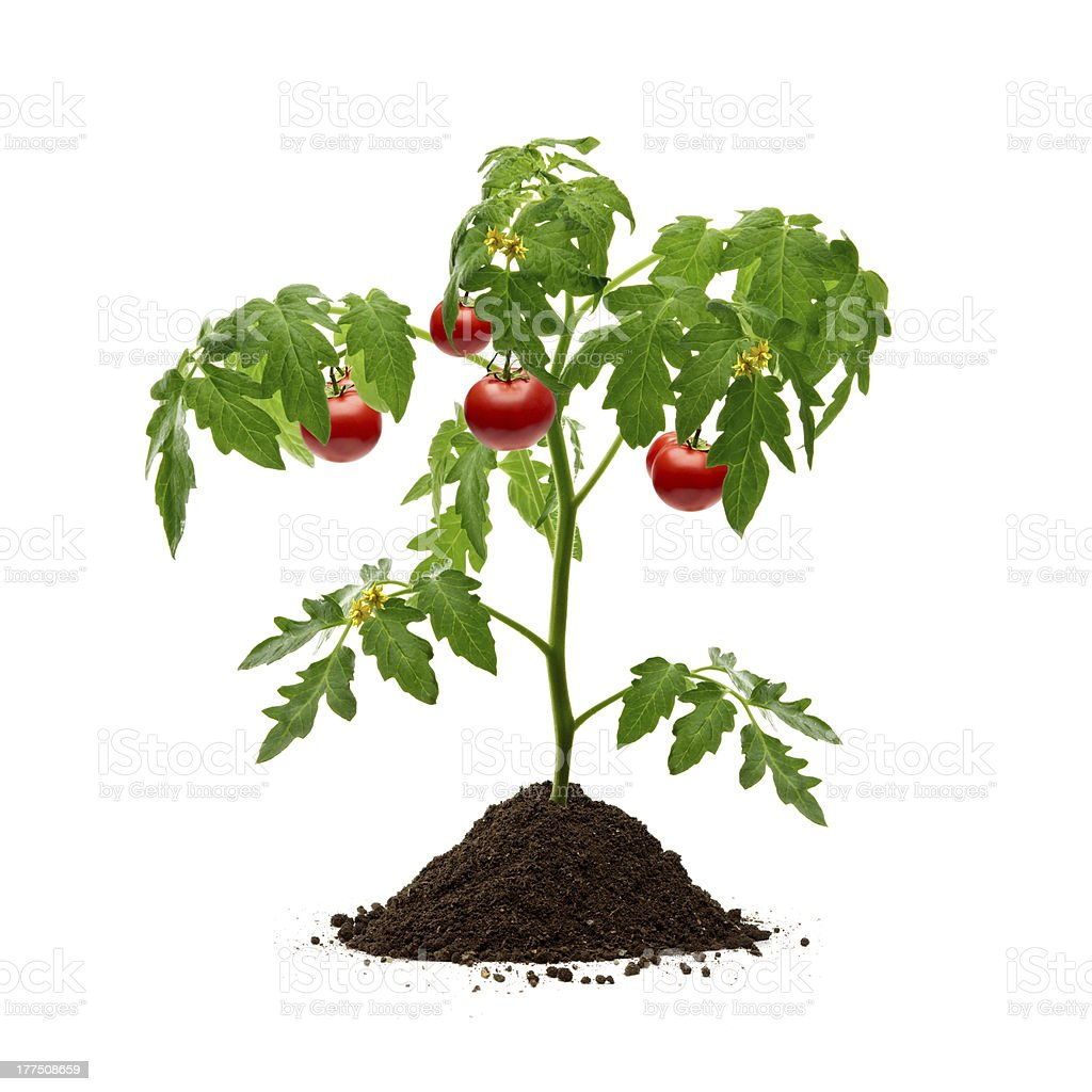 Tomatoes Plant stock photo