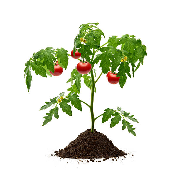 the effectivity of mabolo plant as antibacterial in tomato plant Antibacterial activity of certain plant extracts against bacterial wilt these plant species were more effective than hot water tomato plants were.