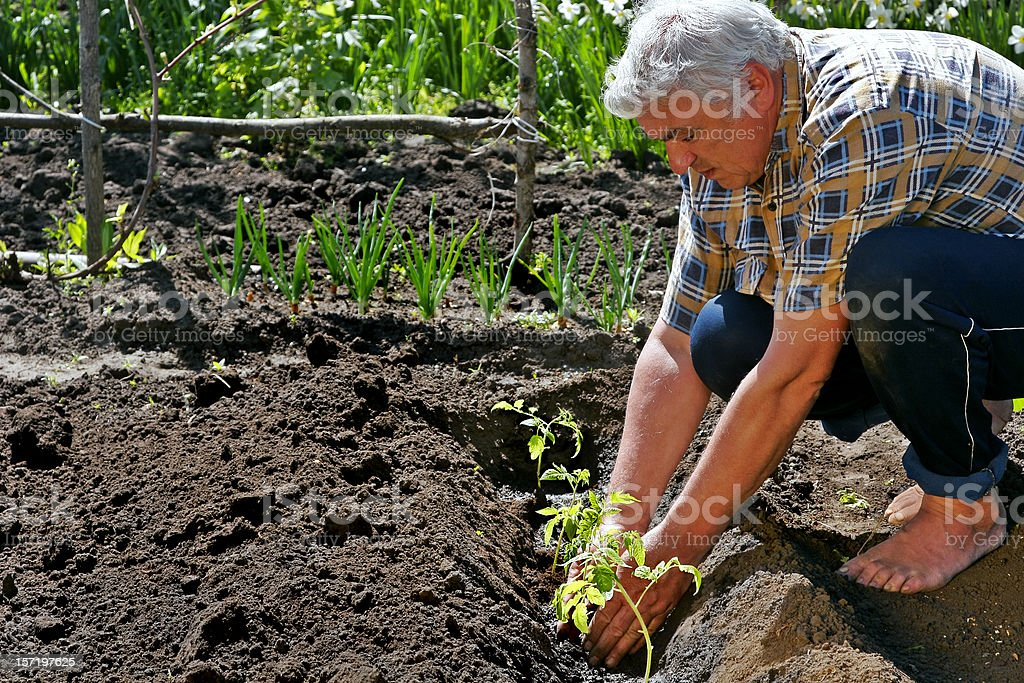 Tomatoes Planting #3 royalty-free stock photo