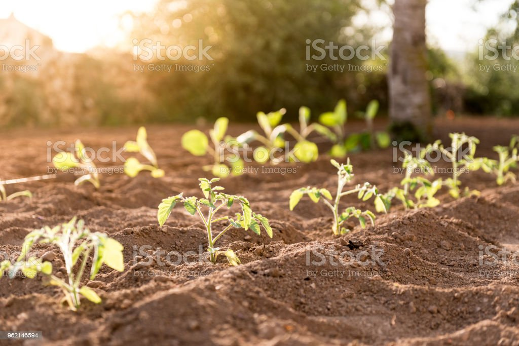 Tomatoes plants at sunset stock photo