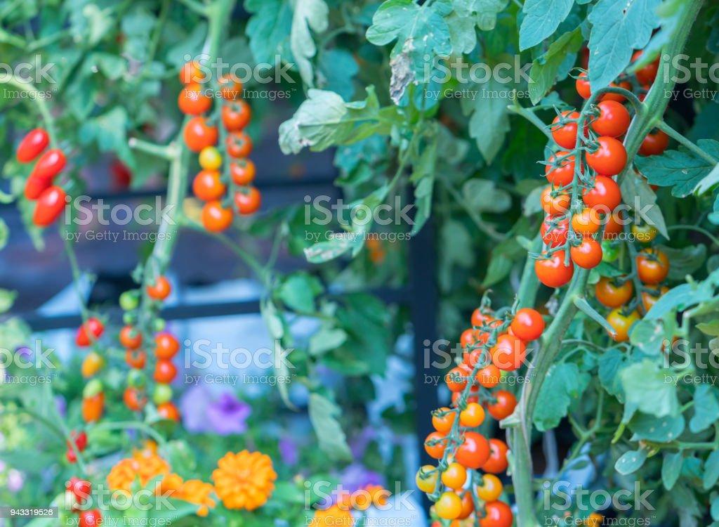 Tomaten im Garten vorbereitet – Foto
