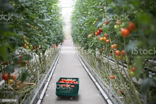 Tomaten Ripening Im Gewächshaus Stockfoto und mehr Bilder von Tomate