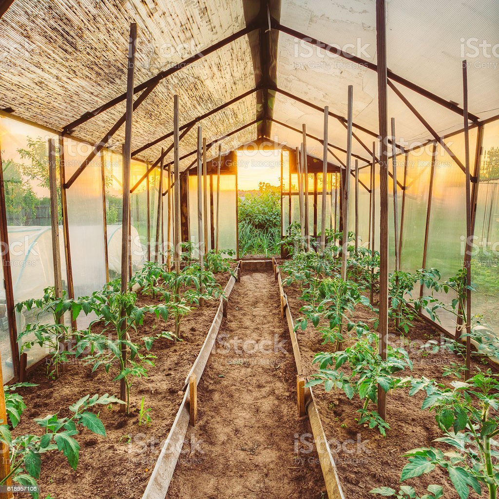 Tomatoes Vegetables Growing In Raised Beds In Vegetable Garden stock photo