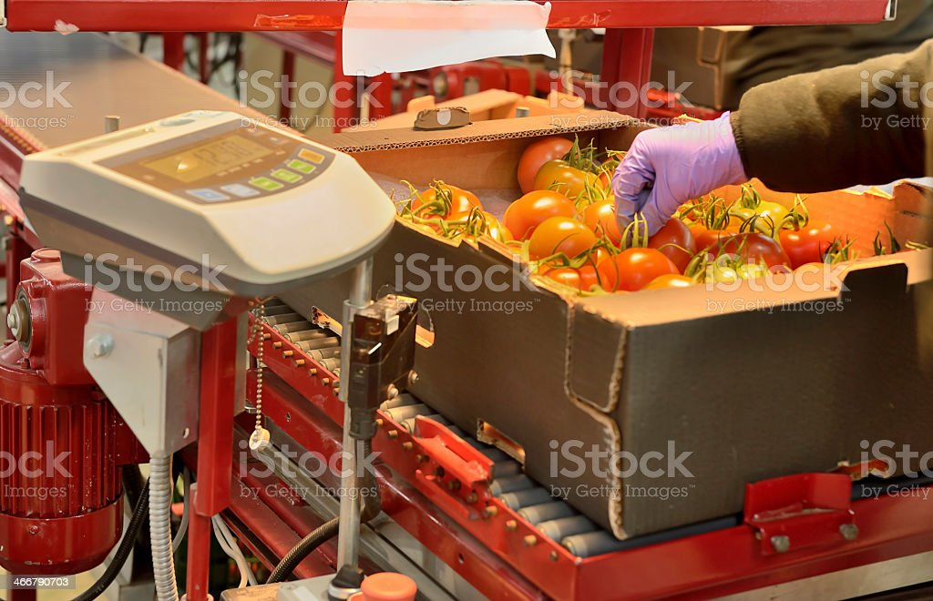 Tomatoes weighting point at production line stock photo