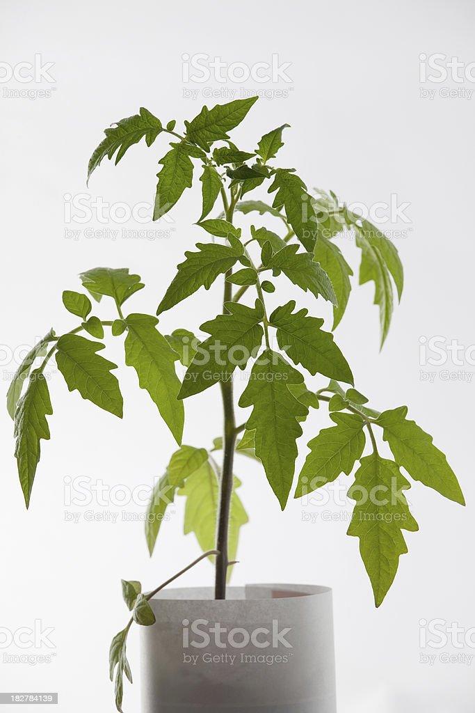 Tomator seedling stock photo