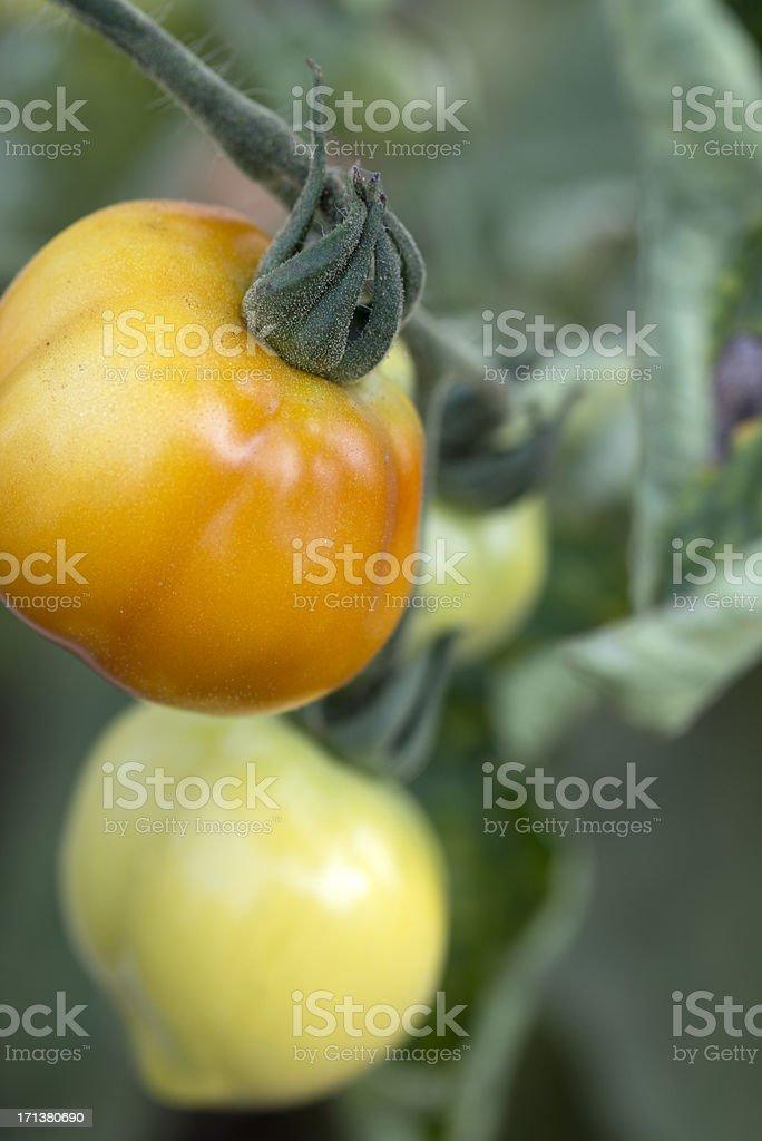 Tomatos(Solanum Lycopersicum) Ripening royalty-free stock photo