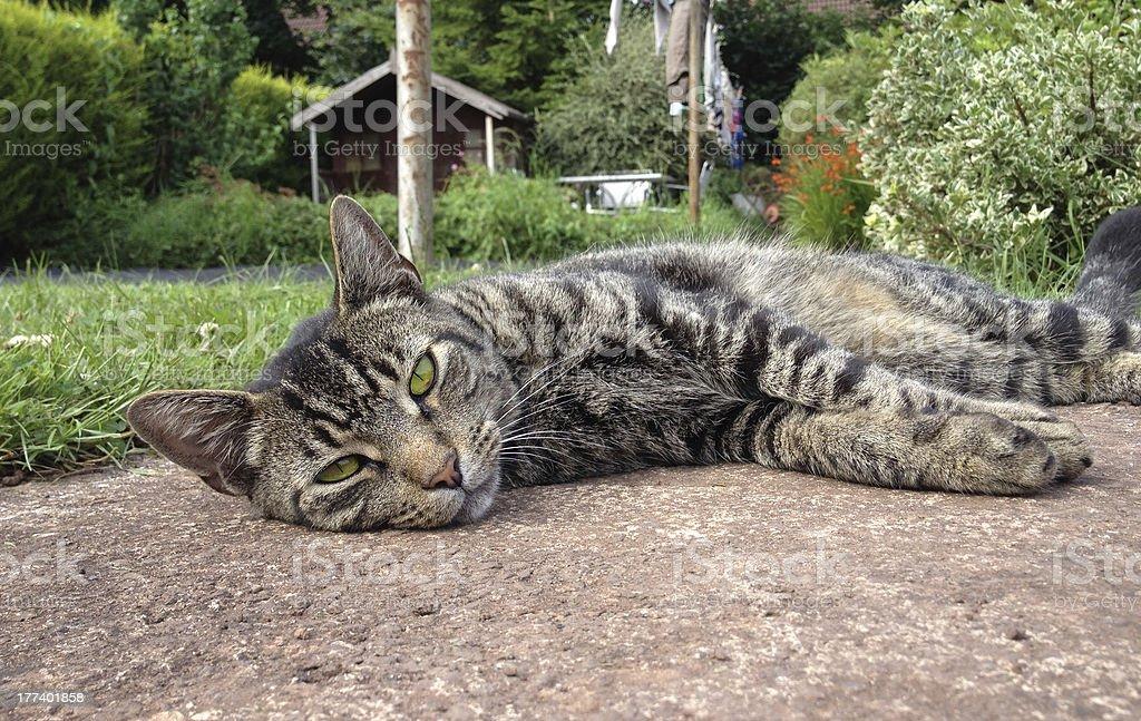 Tomcat lazing around in domestic garden royalty-free stock photo